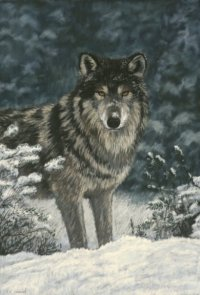 In The Snow - Wolf